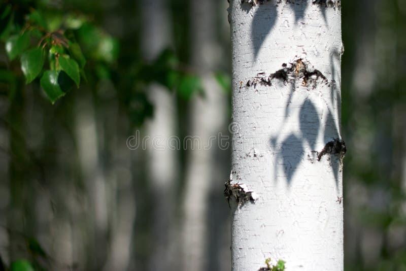 Sommerbirkenwaldung stockfotografie