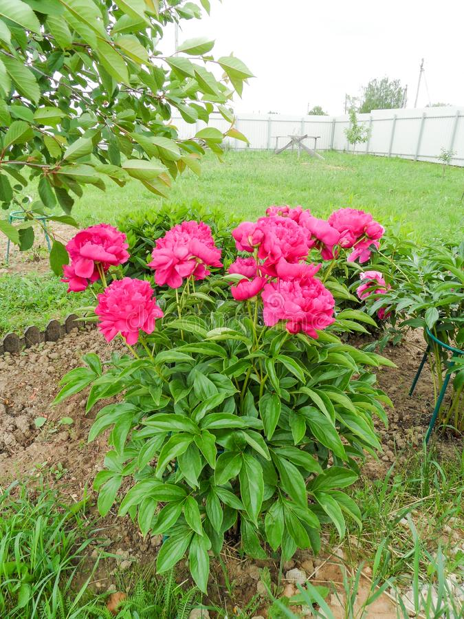 Sommerblüte im Garten stockfotos