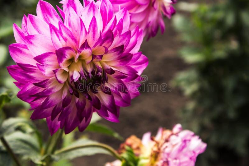 Sommerblumen im Garten stockfotografie