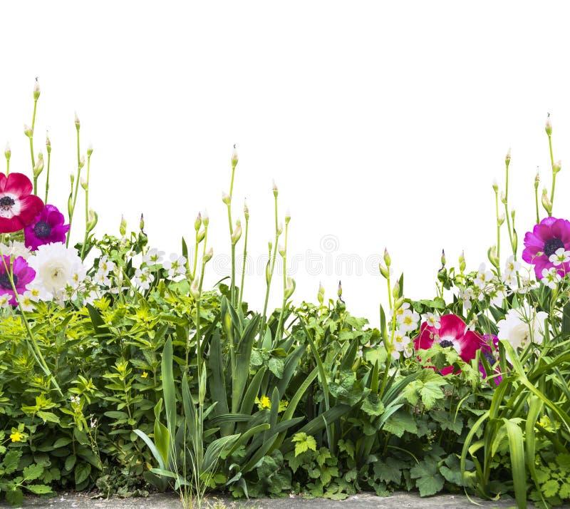 Sommerblumenbeet mit der Iris und Anemonen, siolated lizenzfreies stockfoto