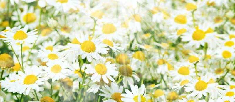 Sommerfeld mit Gänseblümchen stockfoto