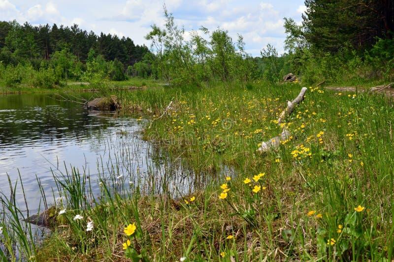 Sommerflusslandschaft Sumpfige Bank des Flusses Gelbe Blumen segge lizenzfreies stockfoto