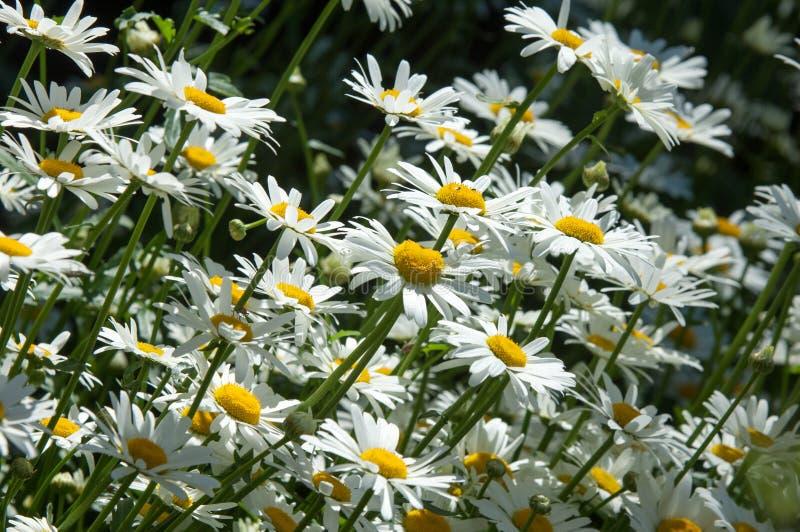 Sommerfotos von Blumen Gänseblümchen eine aromatische europäische Anlage von stockfotografie
