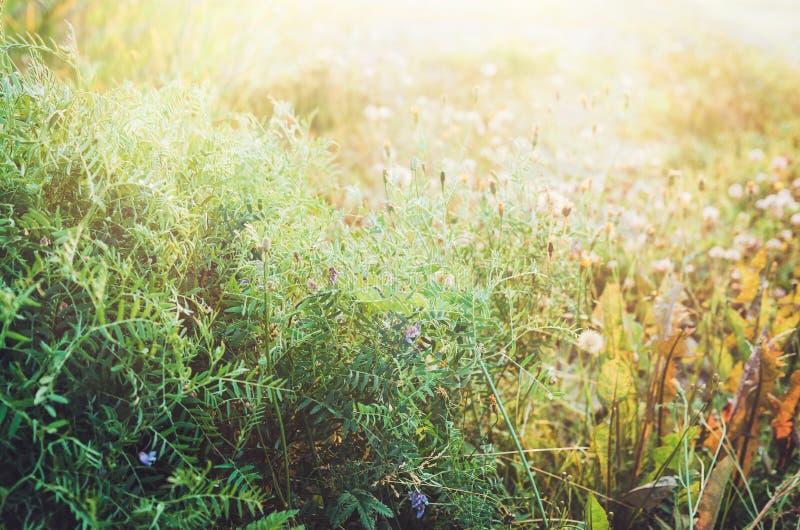 Sommergrüner Blumengartenhintergrund mit Sonnenschein Blumen, Klee, Gras in der Sonne Pfad im Fallwald Rustikale Art stockfoto