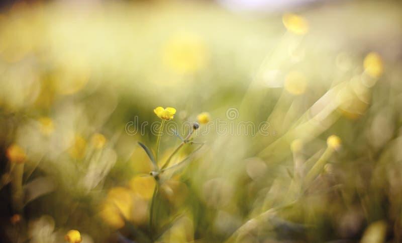 Sommerhintergrund mit gelben Farben einer Butterblume lizenzfreie stockfotografie