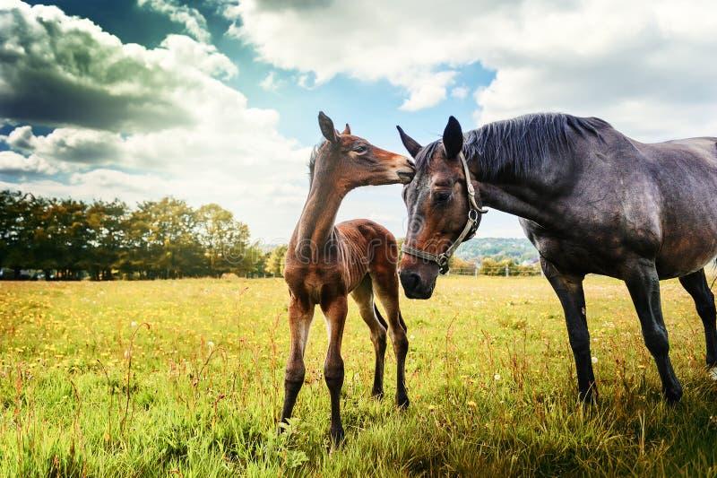 Sommerlandlandschaft mit Pferd und Fohlen stockfotos