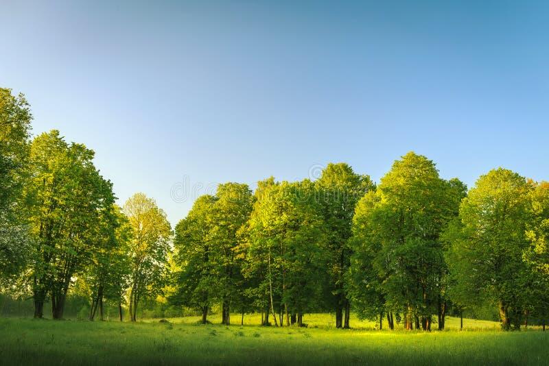 Sommerlandschaft des Naturhintergrundes Grüne Bäume in der Reihe auf Morgenwiese am Sommermorgen mit klarem blauem Himmel stockbild