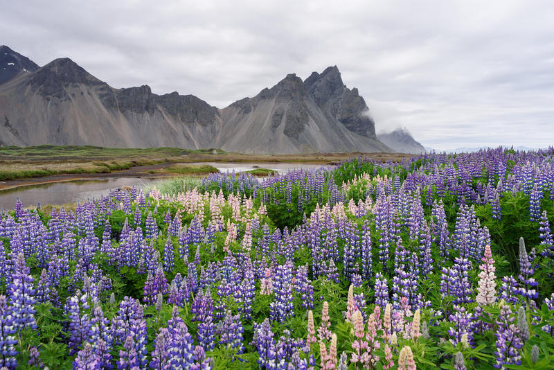 Sommerlandschaft mit blühendem Lupine in Island stockbilder