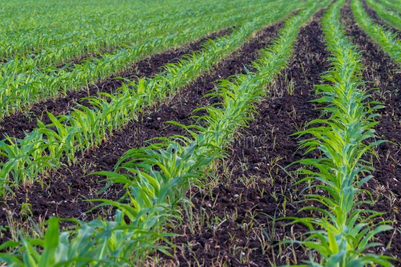 Sommerlandschaft mit einem Feld des jungen Mais mit Unkräutern, Pflanzenschutz, Herbizidverwendung, ökologische Landwirtschaft, S stockfotografie