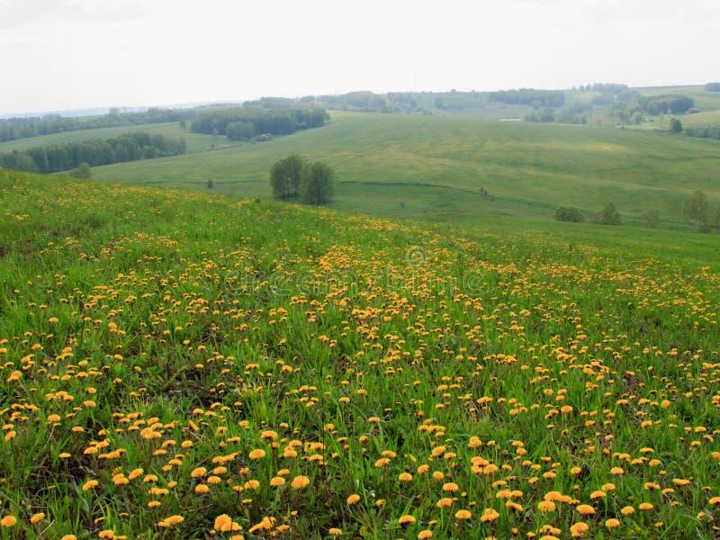 Sommerlandschaft mit gelben Löwenzahnblumen lizenzfreie stockfotos