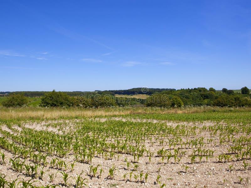 Sommerlandschaft mit jungen Maisanlagen und Waldland stockfotografie