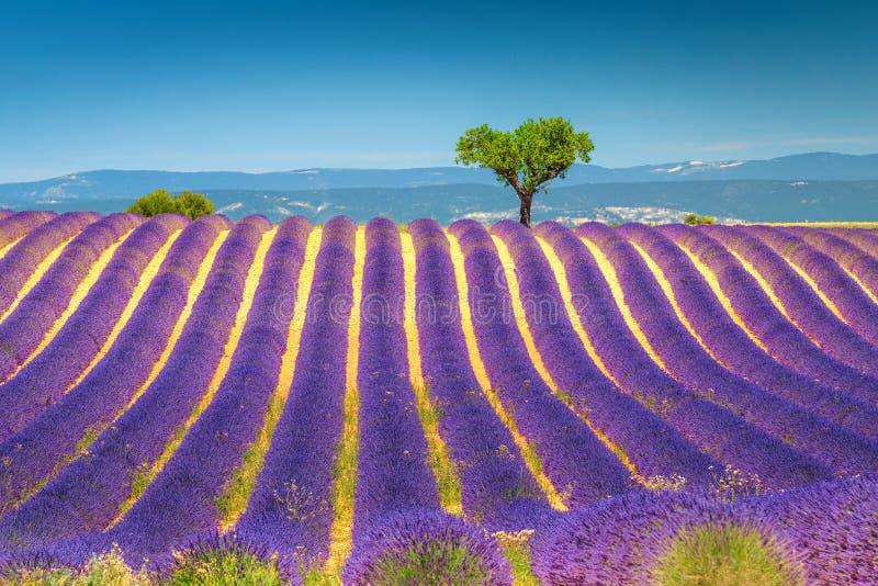 Sommerlandschaft mit violetten Lavendelbüschen in Provence, Valensole, Frankreich stockfotos