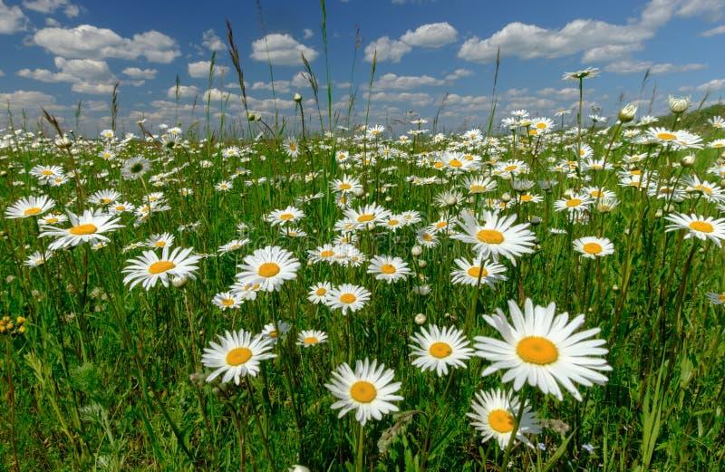 Sommerlandschaft mit weißen Gänseblümchen auf einer grünen Wiese lizenzfreies stockfoto