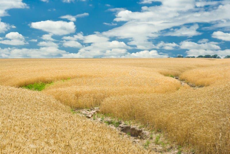 Sommerlandschaft mit Weizenfeld und Bodenabnutzung lizenzfreies stockfoto