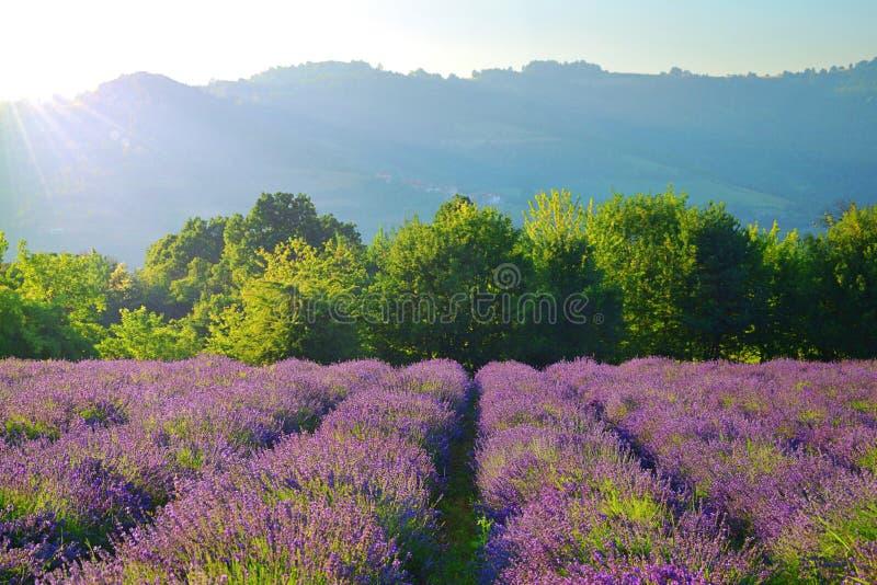 Sommerlandschaft in Piemont, Lavendelfeld stockbild