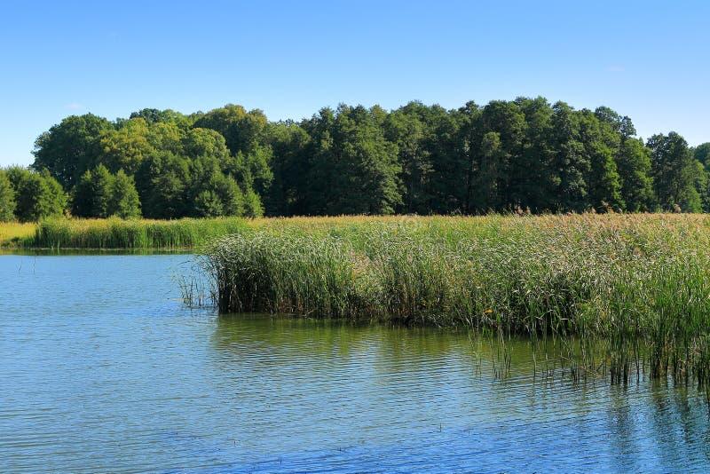 Sommerlandschaft, Schilf auf der Bank des Sees stockfoto