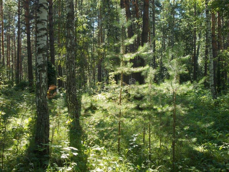 Sommermorgen im Wald lizenzfreie stockbilder