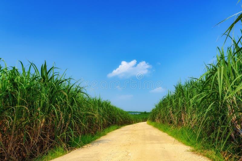 Sommernachmittage auf den Zuckerrohrgebieten lizenzfreies stockfoto