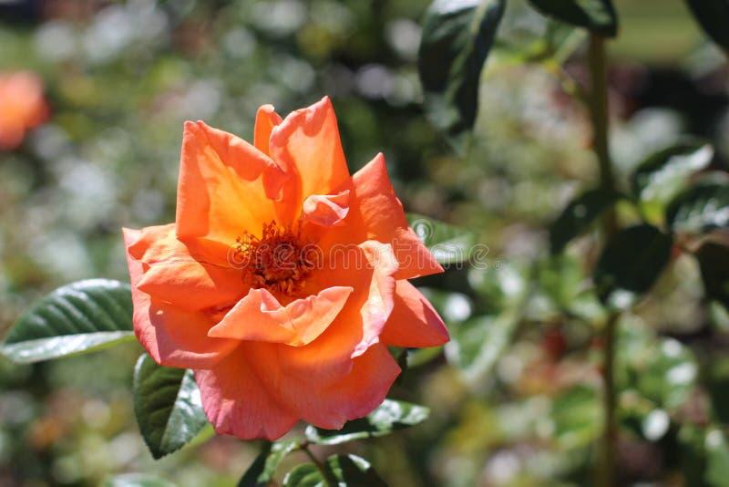 Sommerrosen Orangen lizenzfreie stockfotografie