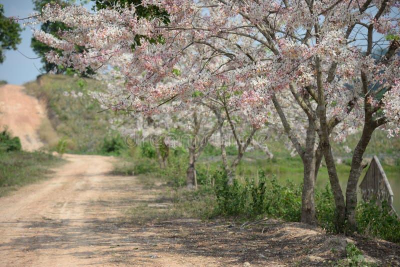 Sommersaison des Kassie bakeriana Rosablumenbaum-Tunnels im Frühjahr lizenzfreie stockfotografie