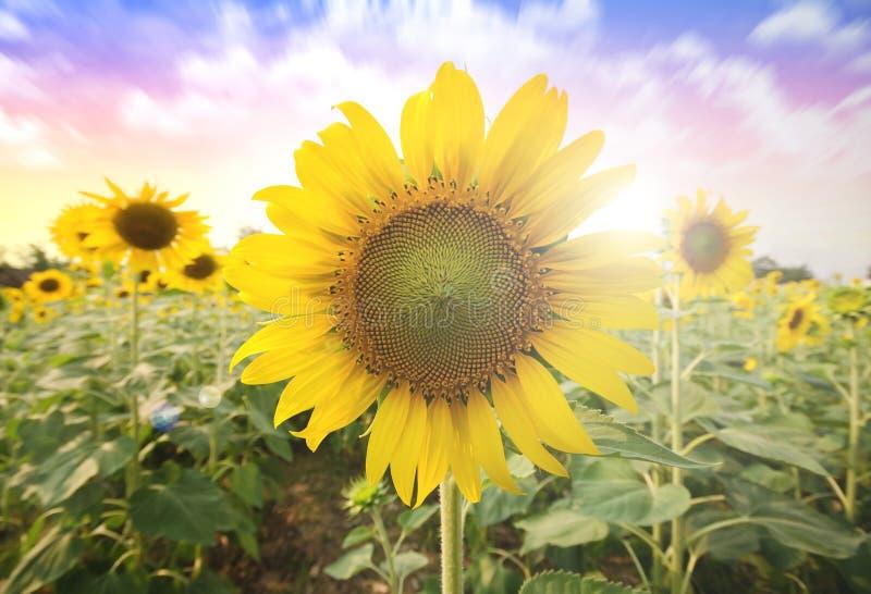 Sommersonne über dem Sonnenblumenfeldnaturhintergrund stockfotos