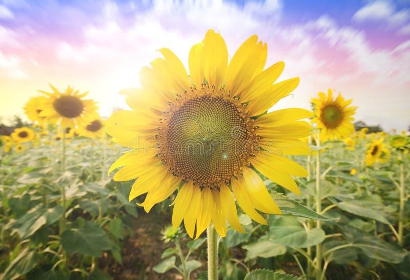 Sommersonne über dem Sonnenblumenfeldnaturhintergrund stockfoto