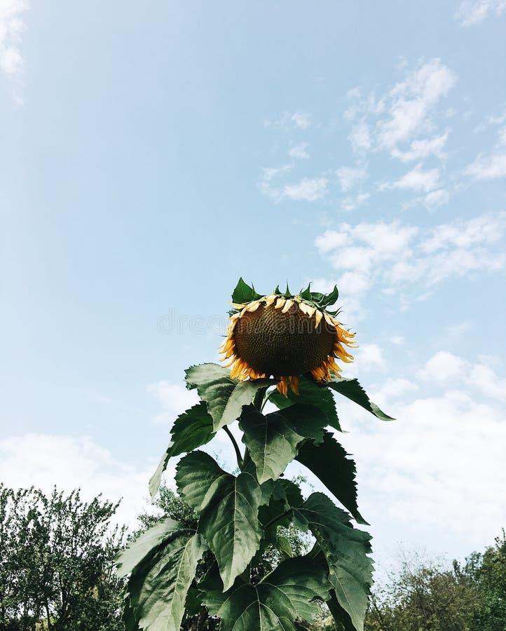Sommersonnenscheinsonnenblume blüht Himmel stockfoto