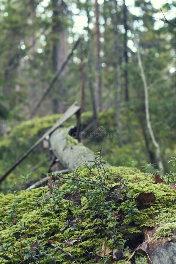 Sommervegetations- und -birkenblätter Waldthema lizenzfreies stockfoto