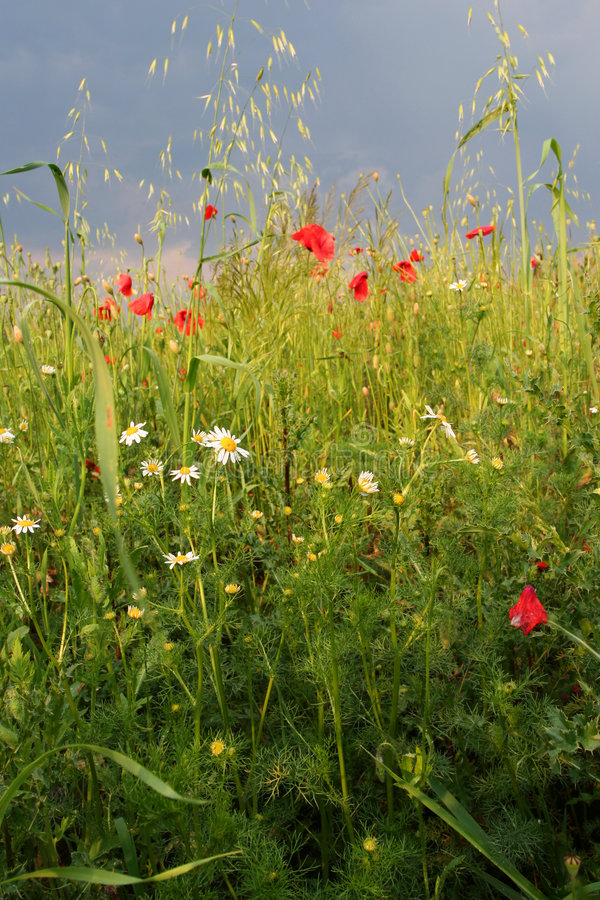 Sommerwiese stockfotos