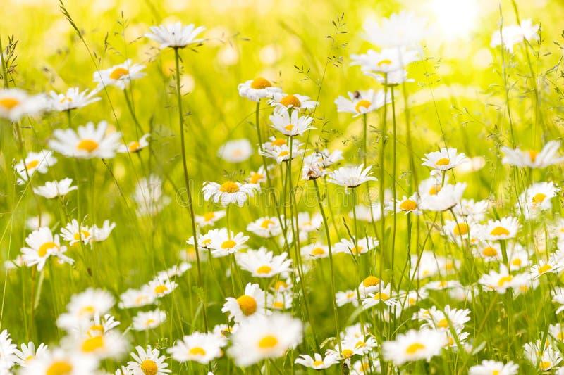 Sommerwiese mit Ochsenaugengänseblümchen stockfotos