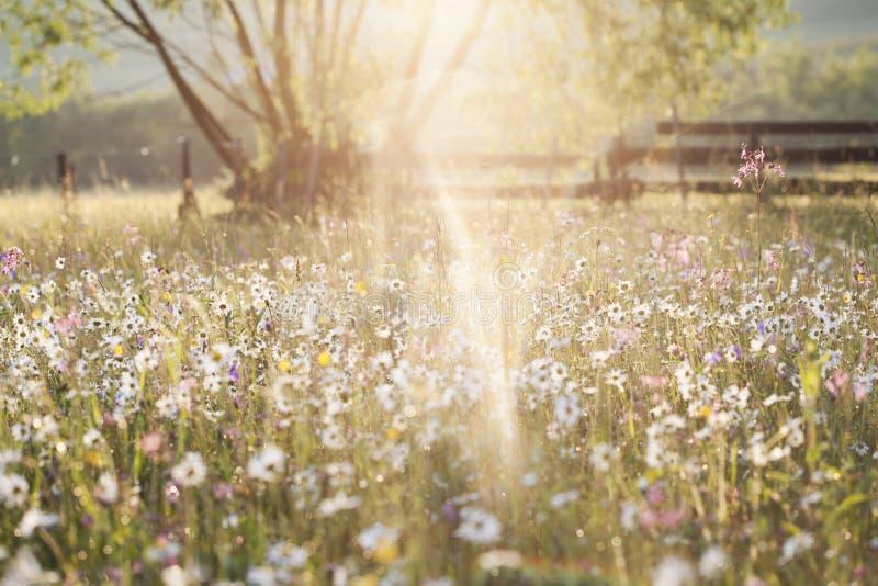 Sommerwiese voll mit Gänseblümchen nach Regen lizenzfreie stockfotos