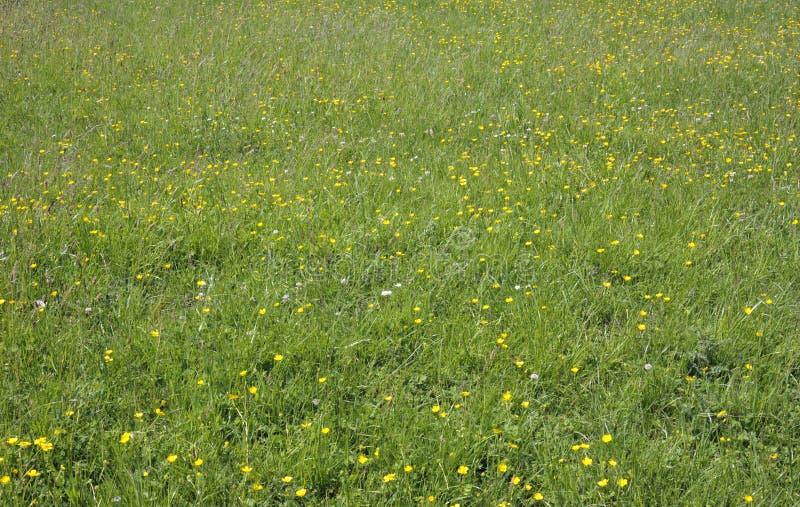 Sommerwiesengras und wilde Blumen lizenzfreies stockfoto