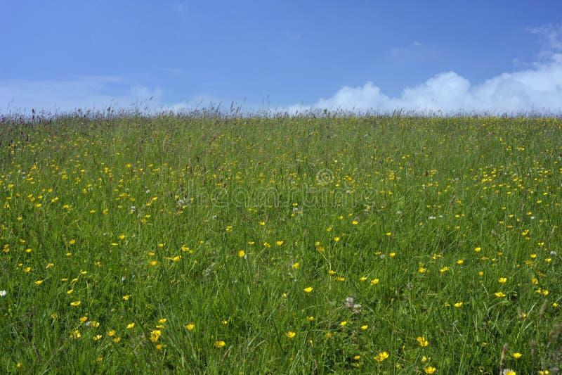 Sommerwiesengras und wilde Blumen stockbild
