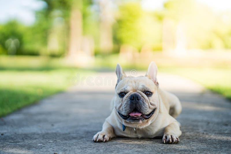 Sommerzeit der französischen Bulldogge stockbilder
