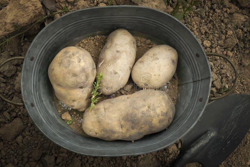Sommige aardappels royalty-vrije stock fotografie