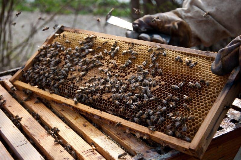 Sommige bijen royalty-vrije stock afbeeldingen