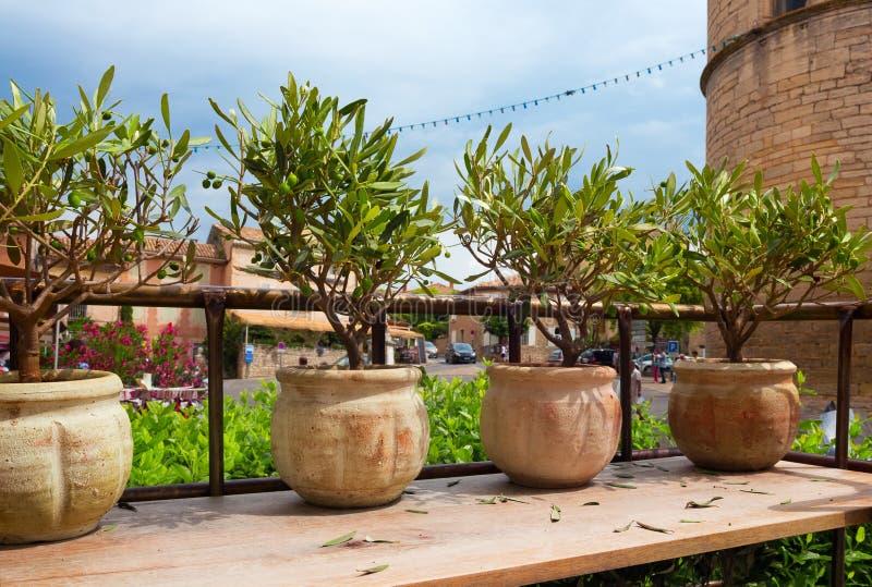 Sommige decoratieve olijfbomen royalty-vrije stock foto's
