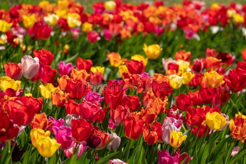 Sommige kleurrijke tulpen bevinden zich op een tulpengebied royalty-vrije stock afbeelding