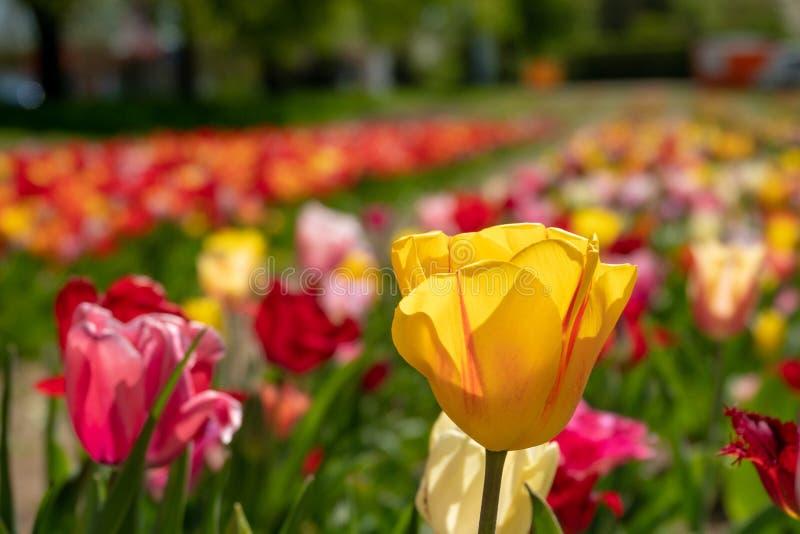 Sommige kleurrijke tulpen bevinden zich op een tulpengebied royalty-vrije stock fotografie