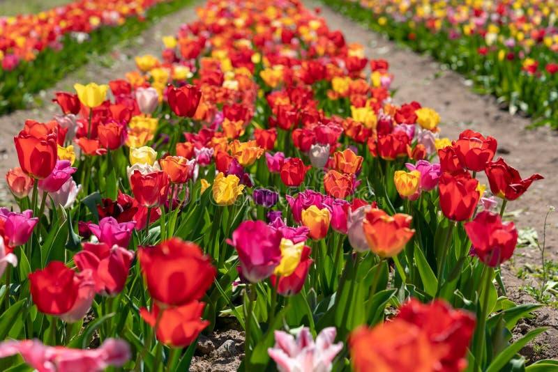 Sommige kleurrijke tulpen bevinden zich op een tulpengebied royalty-vrije stock foto