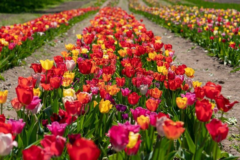 Sommige kleurrijke tulpen bevinden zich op een tulpengebied stock foto's