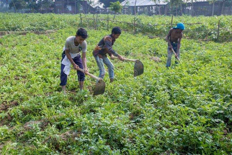 Sommige Lokale kindlandbouwers zijn in de winter, aardappel die zich op hun gebied in Thakurgong, Bangladesh verzamelen stock foto