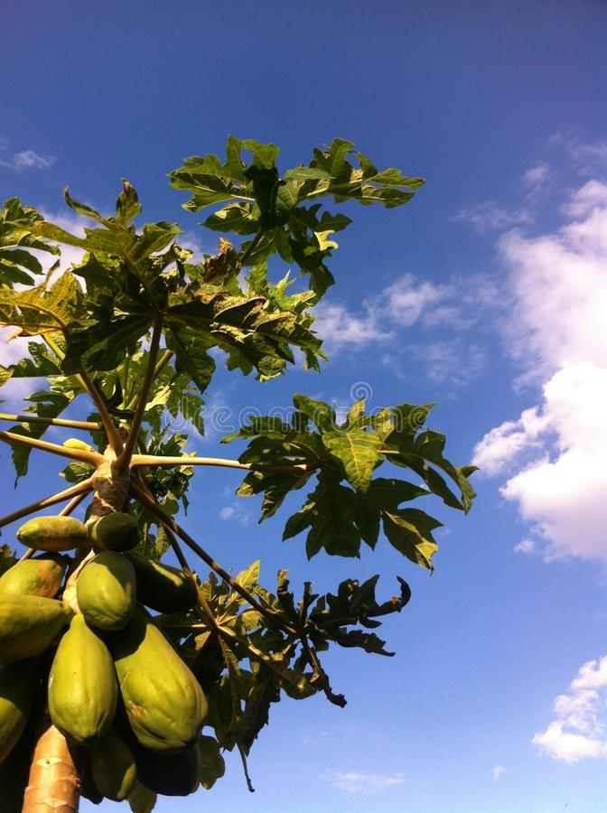 Sommige papaja's stock afbeeldingen