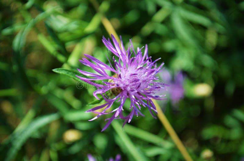Sommige violette bloemen stock foto's