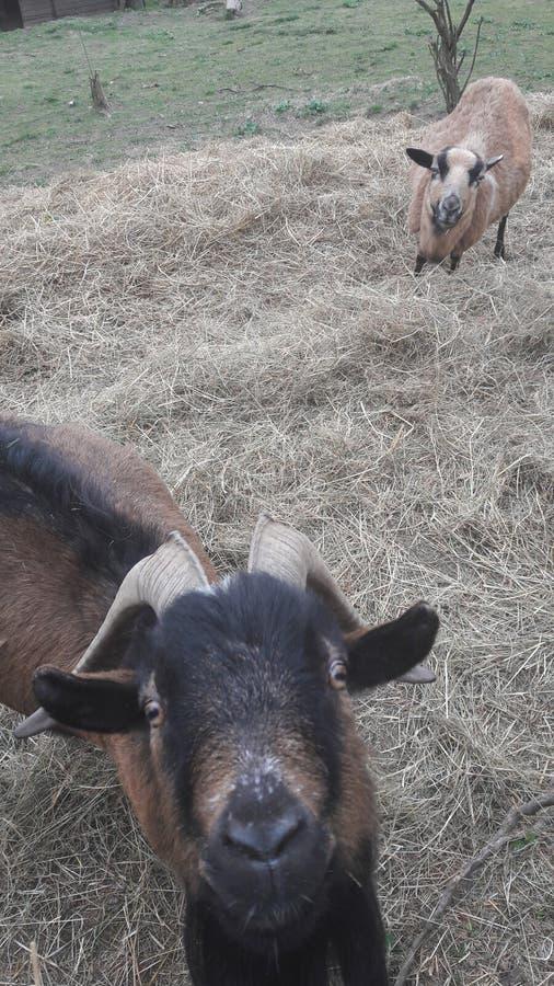 Sommigen koelen geiten stock foto's