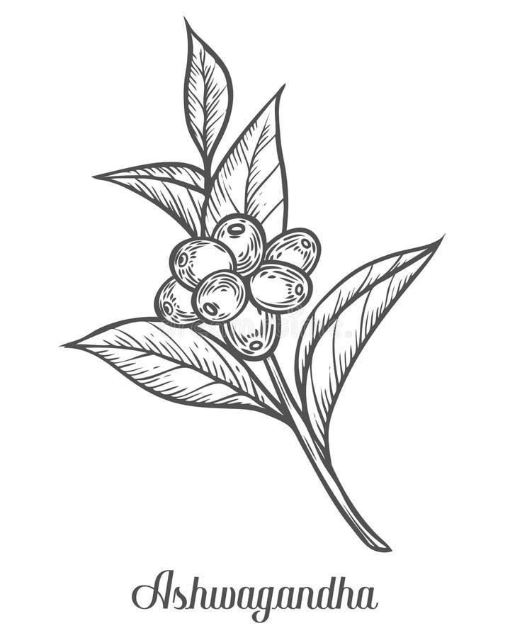 Somnifera de Ayurvedic Herb Withania, conhecido como ashwagandha, ginsém indiano, groselha do veneno, ou cereja de inverno Mão ti ilustração stock