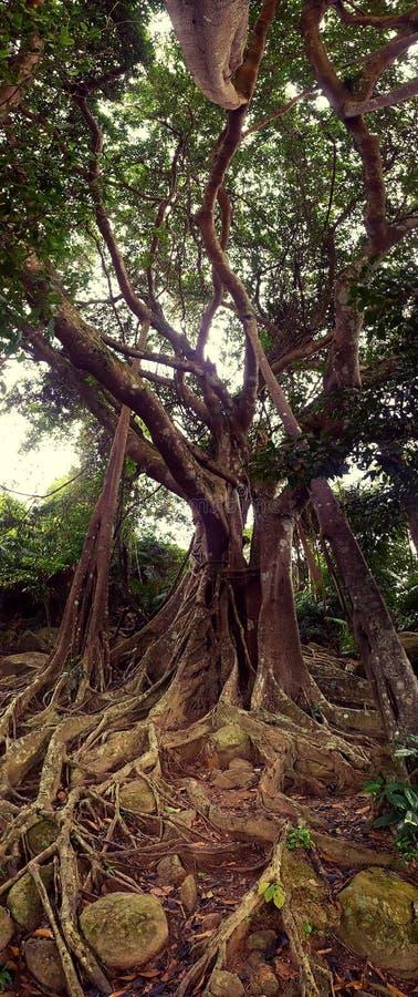 Son Tra Peninsula' s-Banyanträd royaltyfri bild