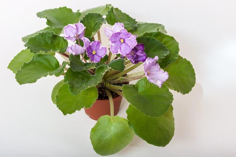Sonata-correio N das variedades do Saintpaulia Solodkaya com luz bonita - flores roxas imagem de stock royalty free