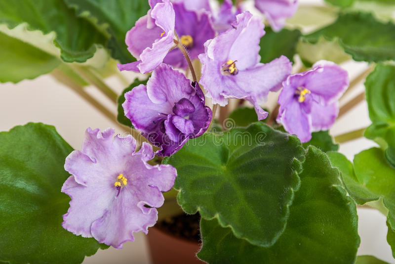Sonata-correio N das variedades do Saintpaulia Solodkaya com luz bonita - flores roxas Close-up imagem de stock