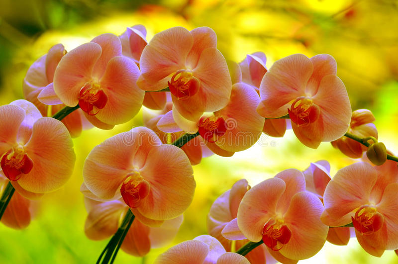 Sonata of orchids. Sonata of beautiful and elegant orchids with natural background